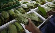 Тайланд легализира известен местен наркотик