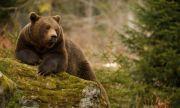 Чакат разрешение за отстрел на мечката, нападнала жена тази сутрин