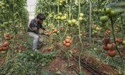 Турция ще отглежда домати и при минус 35 градуса