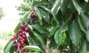 Жандармерията охранява черешите в Кюстендилско