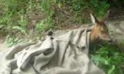 Мъж и жена убиха кошута край Севлиево