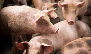 Епидемия от чума по свинете