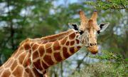Млада жена извади сърцето на жираф и се похвали във Facebook
