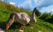 Шумни гъски с памперси могат да навлекат солена глоба на стопанина си (СНИМКИ)