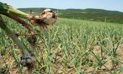 Падат цените на чесъна в Шуменско