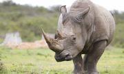 Женски бял носорог ще търси любовта в японски зоопарк