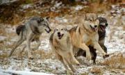 Мрежата завря заради ловец, застрелял огромен вълк и вълчицата му СНИМКА 18+