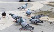 Гълъбите пренасят бактерии, устойчиви на лекарства
