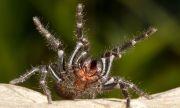 Паяци нападнаха Австралия (ВИДЕО)