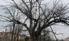 Най-старото дърво в Европа е в село Гранит