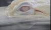 Запознайте се с Пърл, изумителният бял алигатор (СНИМКИ и ВИДЕО)