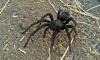 Катерачите в САЩ да внимават – влюбени тарантули!