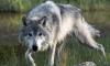 Безработен ловец ликвидира вълк единак