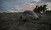 Ентусиасти помогнаха на мигриращи костенурки