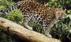 Леопард вдигна на крак село в Индия