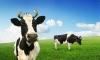 Млякото от щастливи крави е с повече калций