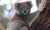 В Австралия арестуваха жена, криеща коала