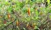 Африканска билка цери наркомани