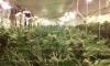 Разбиха оранжерия с марихуана - 1
