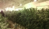 Разбиха оранжерия с марихуана - 2