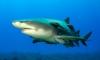Лимоновите акули се връщат по родните си места, за да родят