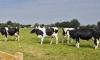 Животновъди показват 180 говеда