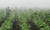 Нов ГМО тютюн може да лекува малария